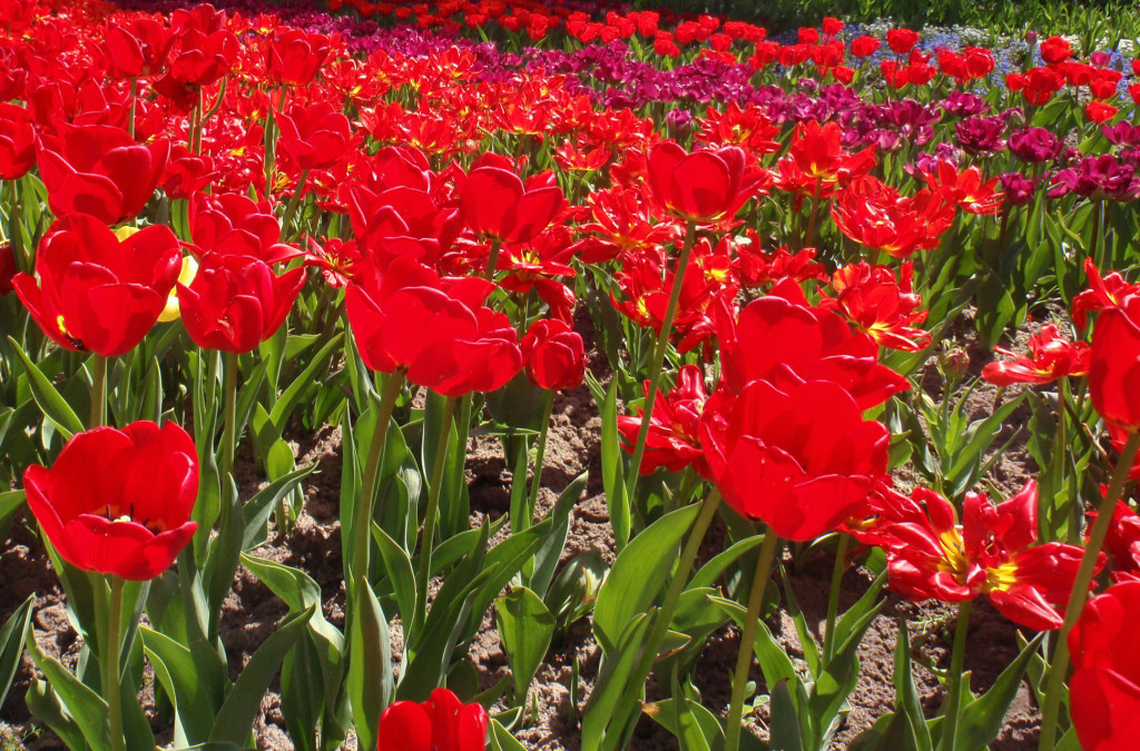 Tulipaner i Britzer Garten