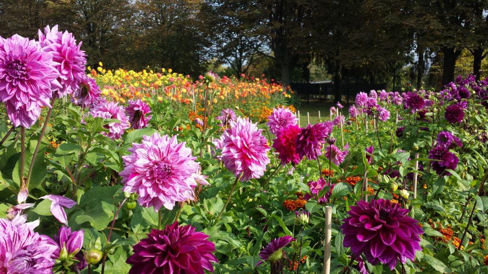 Dahlierne i Britzer Garten og IGA 2017